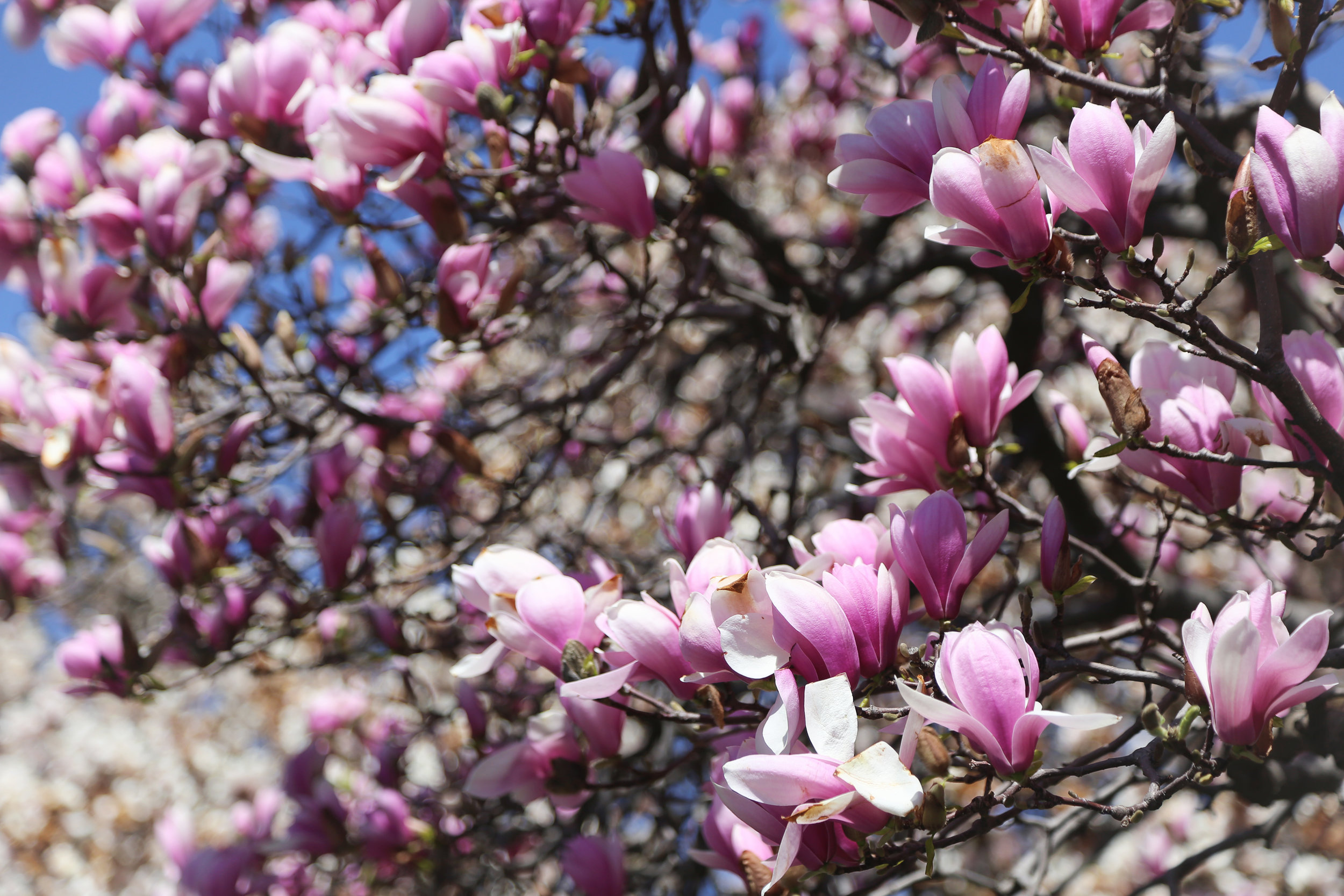 magnolias at the brooklyn botanic garden