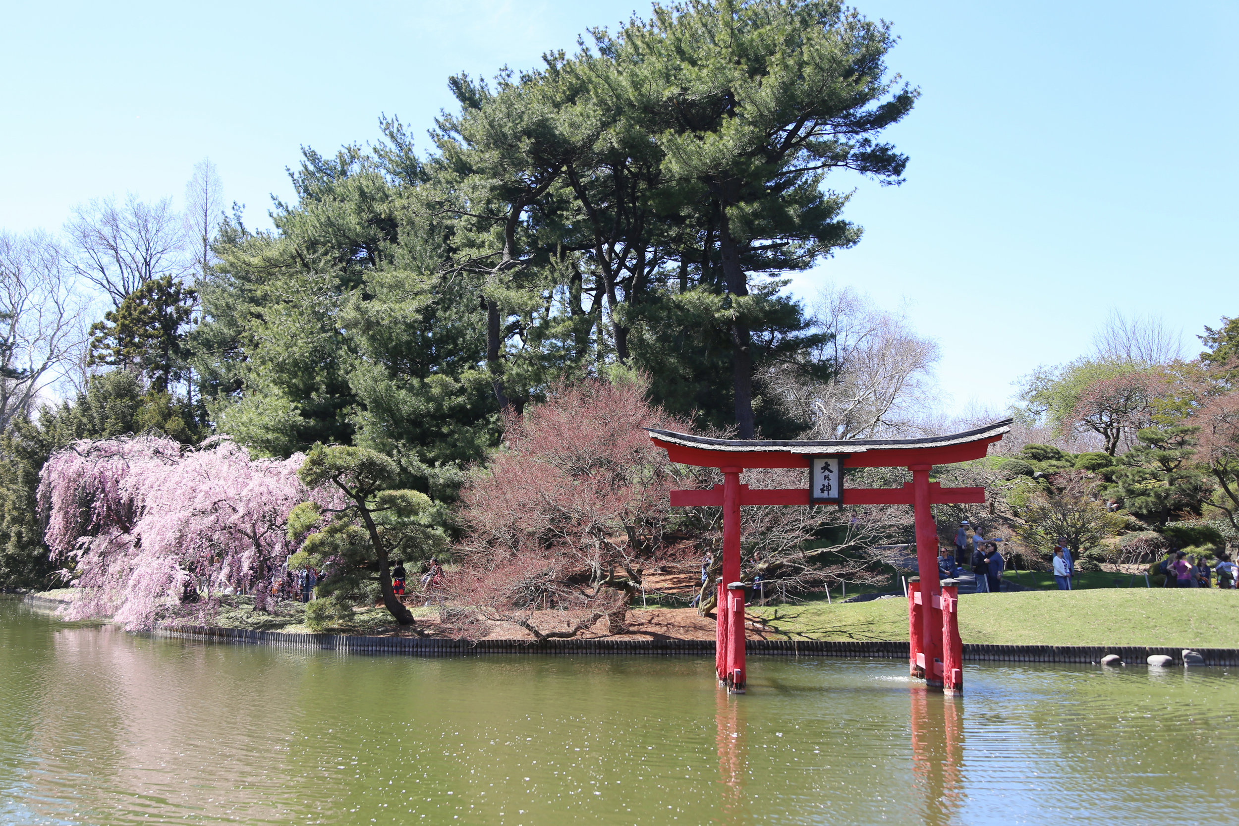 torii and cherry blossoms at the brooklyn botanic garden