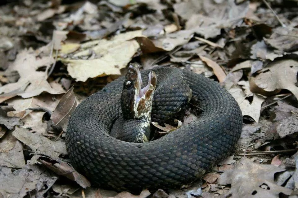 Cottonmouth snake in defensive posture.