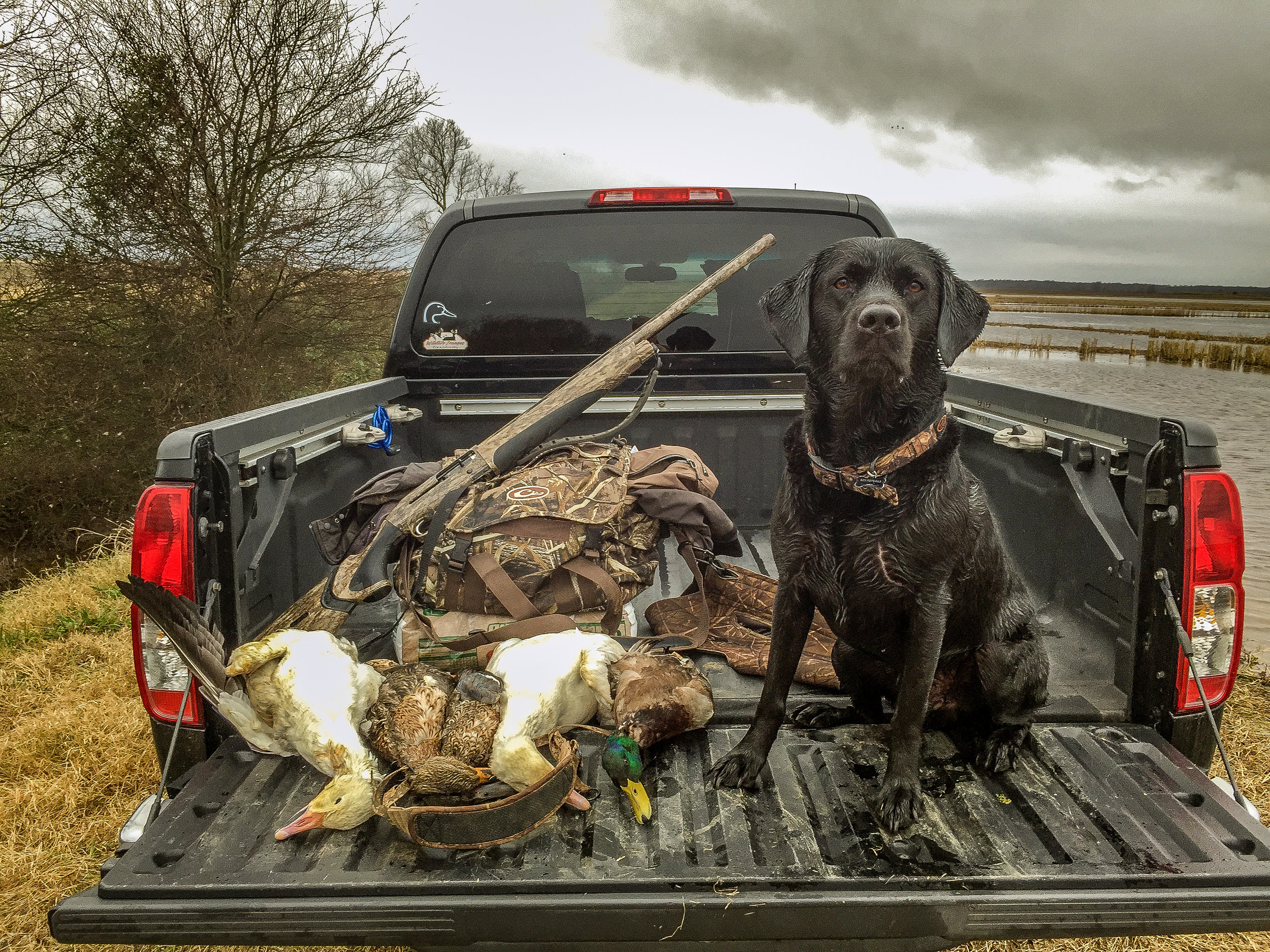 Black lab Jackson sits proud after a day's work fetching ducks.