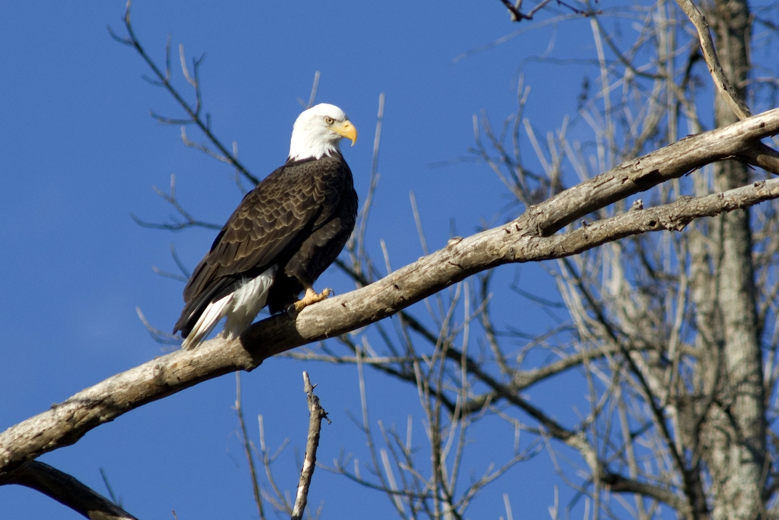 Bald eagles (like this one on Bull shoals lake) are one of arkansas' most well-known birds.