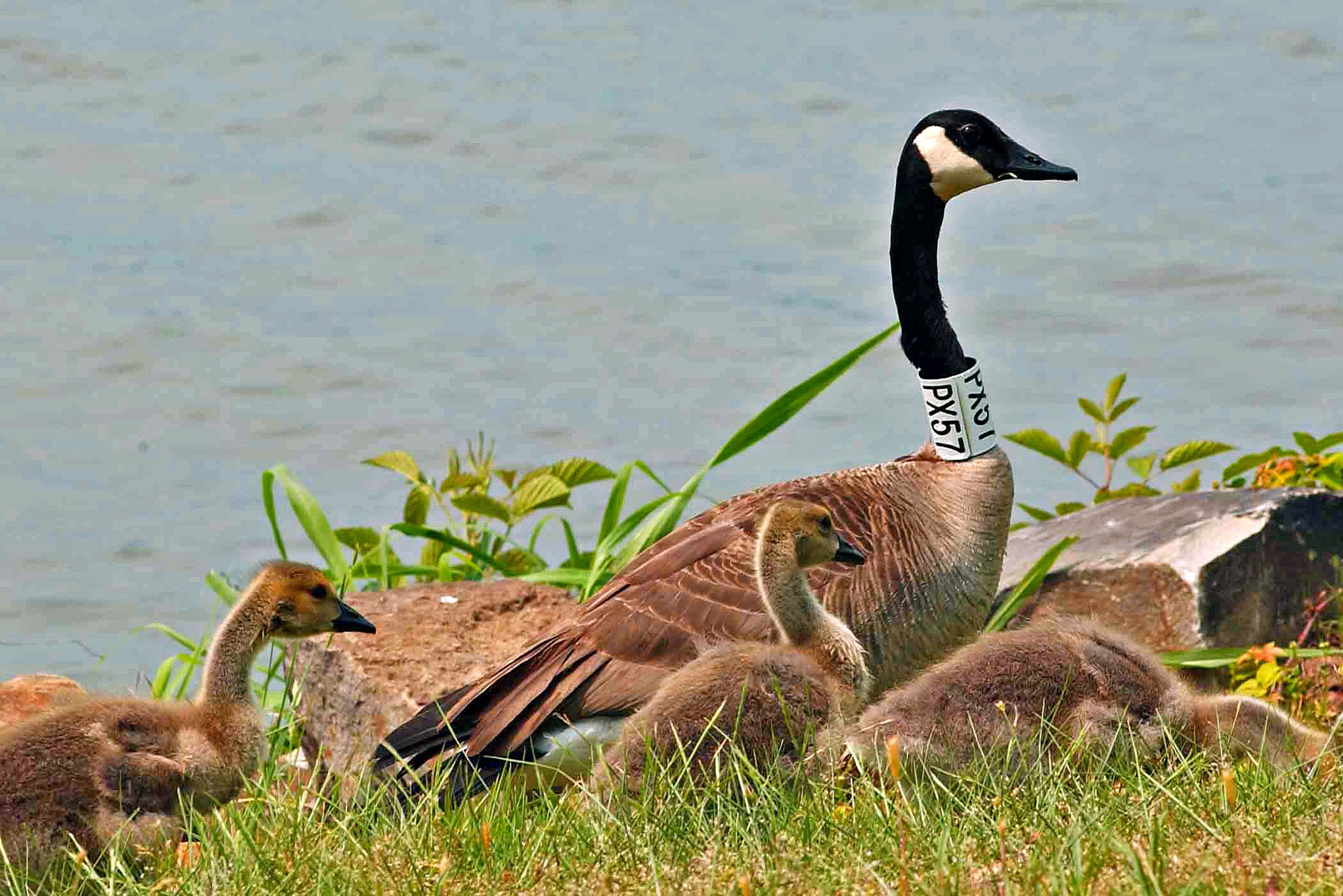 Migratory birds such as these Canada geese use bodies of water like lake Dardanelle as rest stops along their journey.