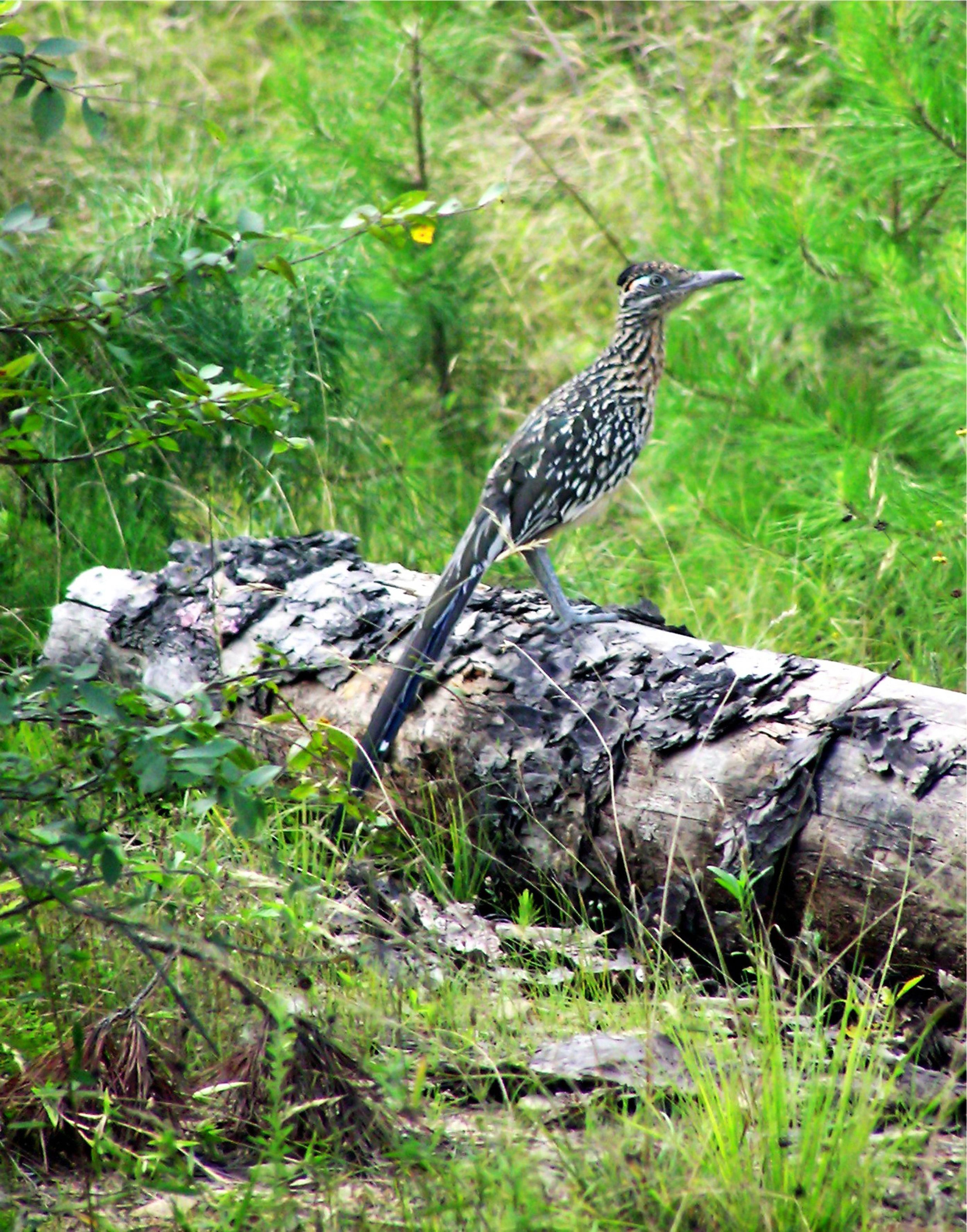 the elusive roadrunner is one of the most sought-after sightings in the Ouachita Mountains.