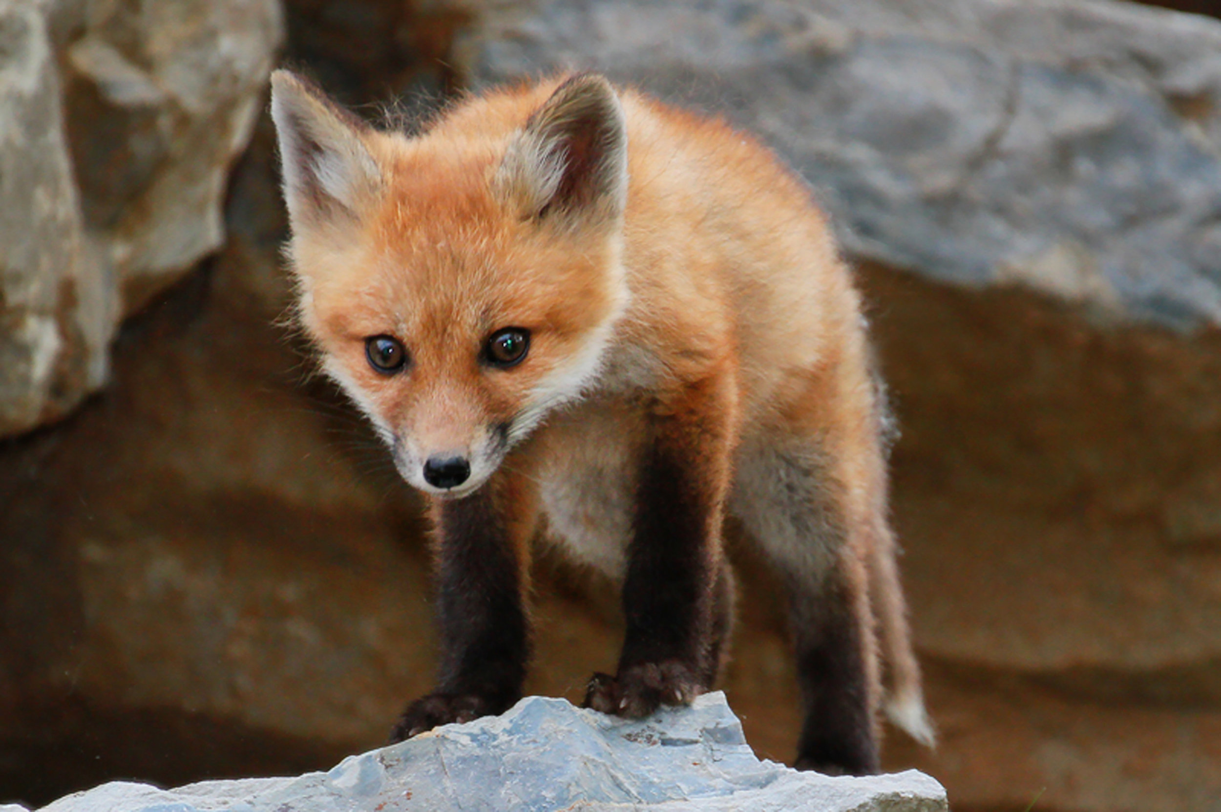While not commonly thought of as an arkansas native, the state does boast populations of red foxes along its southern waters.