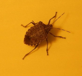 Stink3_brown_marmorated_stink_bug_Lexington_KY_Jan_2015.jpg