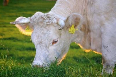 happy_cows_beef_organic.jpg