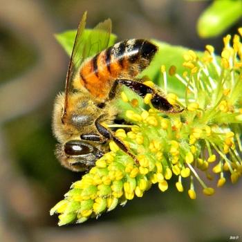 Honey_Bees_in_Willow_Trees_(8345531686).jpg