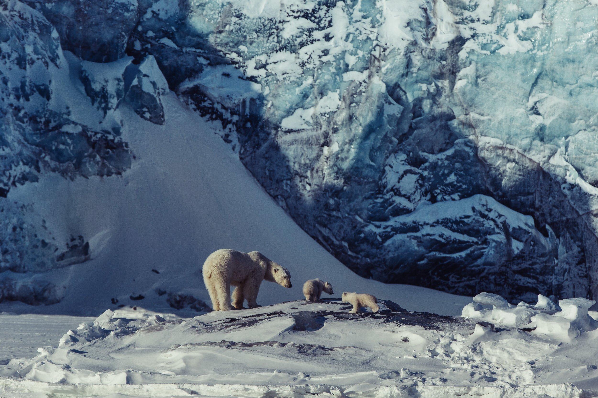 Polar Bears // Arctic