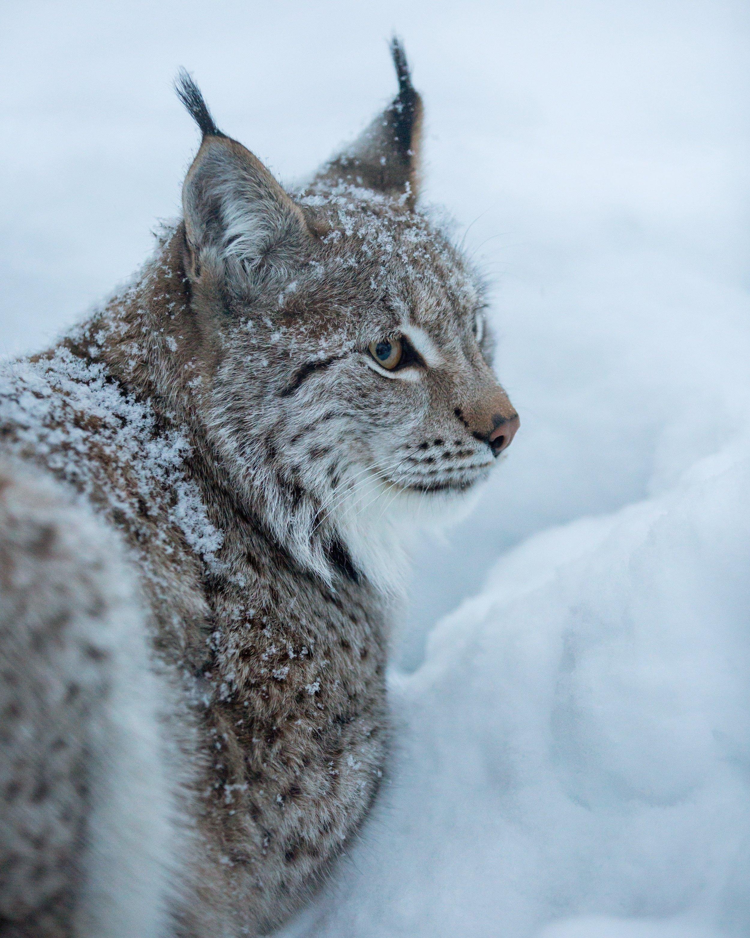 Lynx // Northern Norway