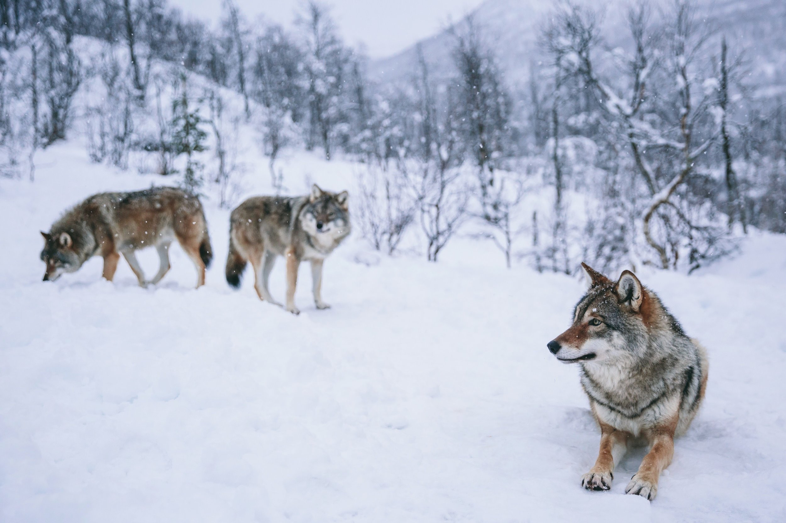 Wolves // Northern Norway
