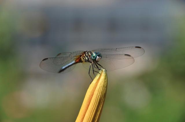 LCG 2011 Robert Simko dragonfly.jpg