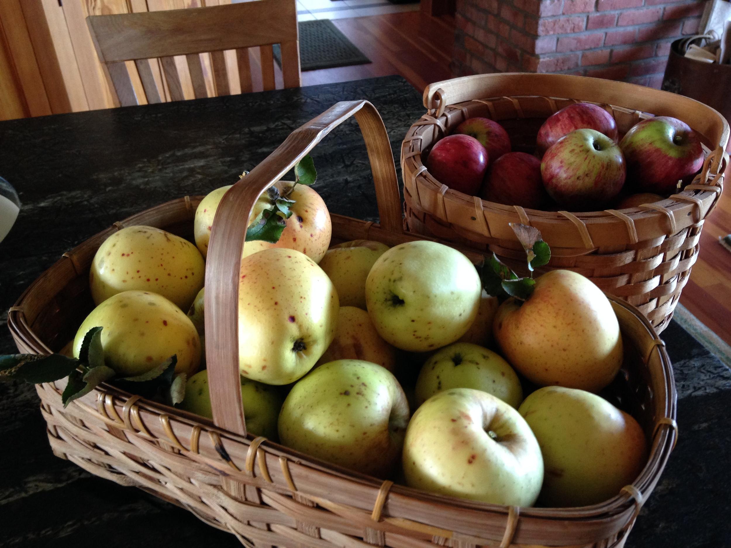 Wild Windsor Apples