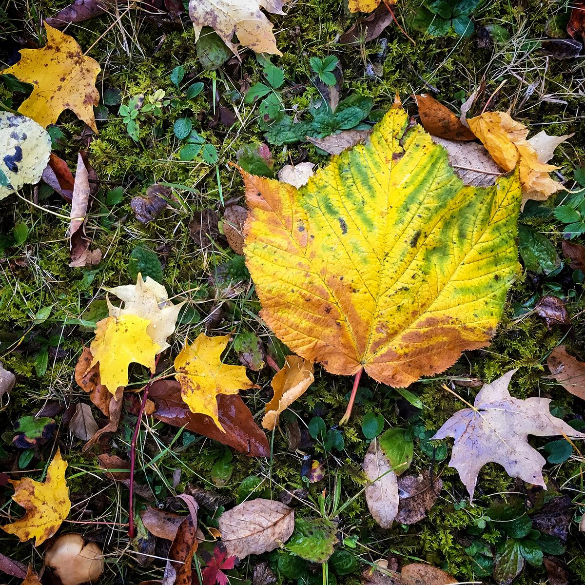 Striped Maple Leaf