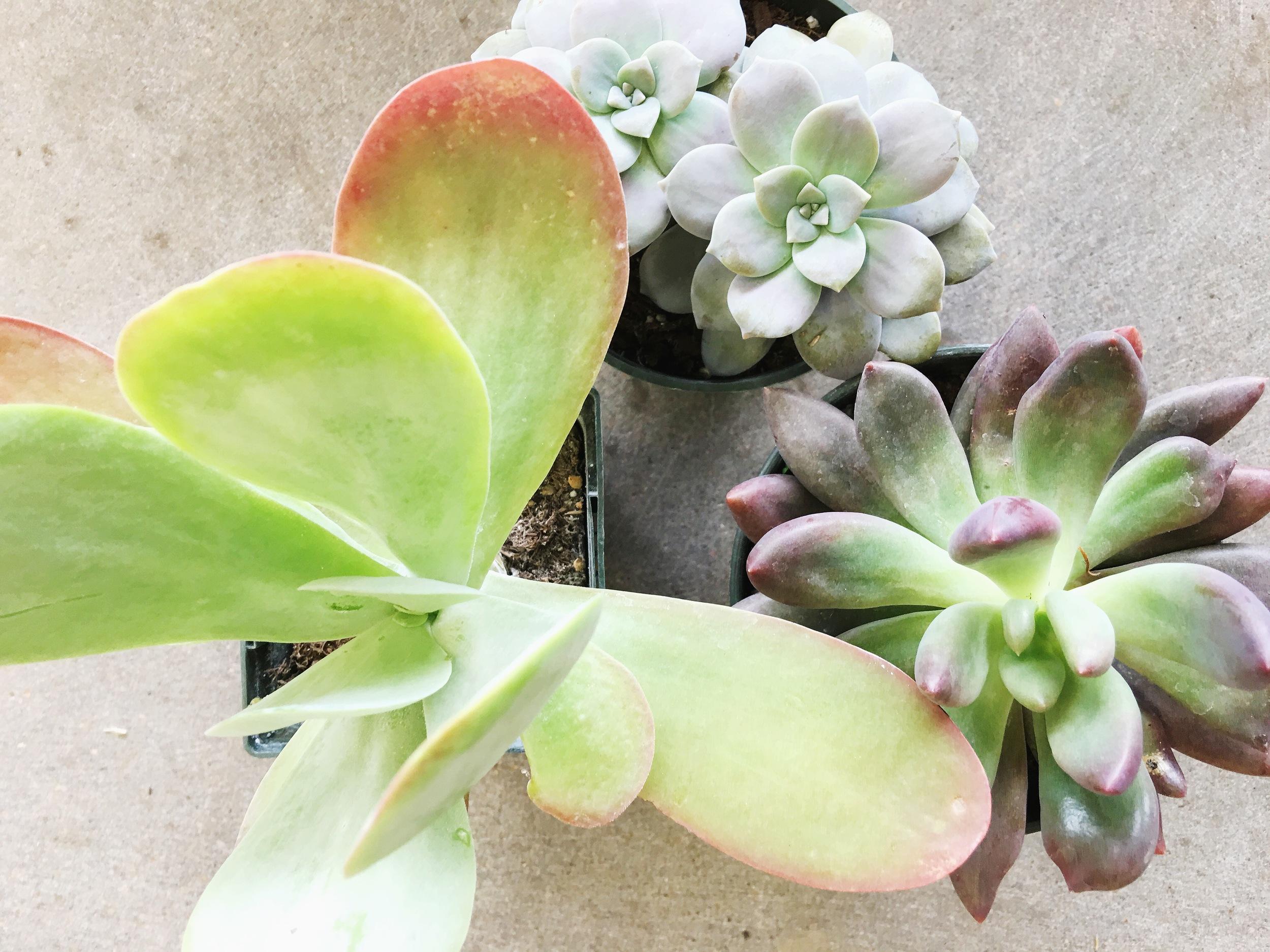 Higher Light Succulents