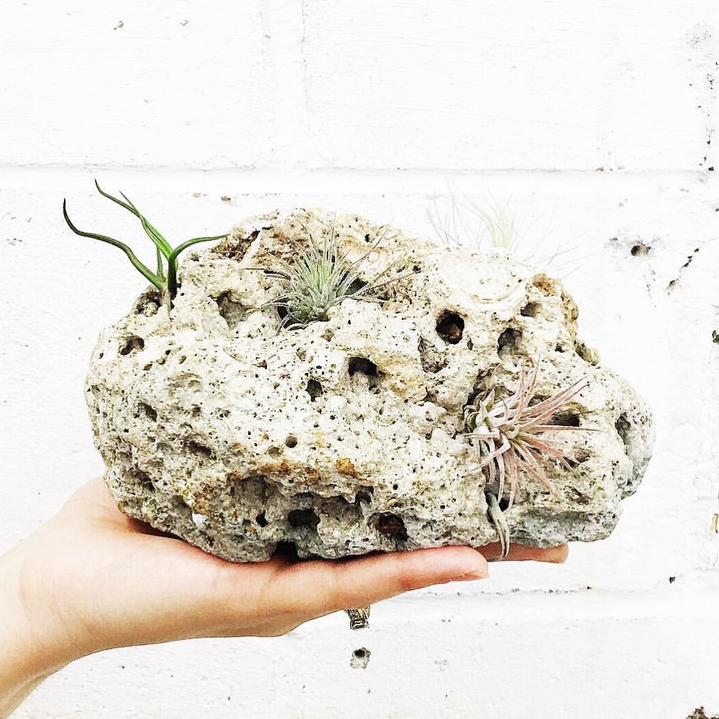 It's so satisfying to poke air-plants into the nooks and crannies of cool rocks. Everyone should try it.