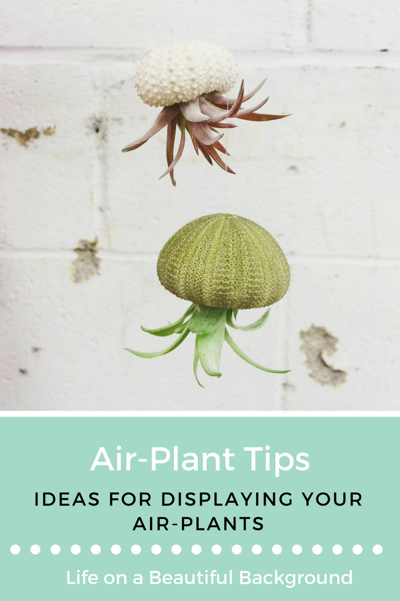 ways to display air-plants