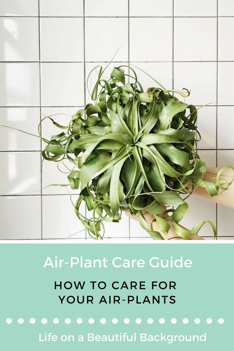 air-plant care guide