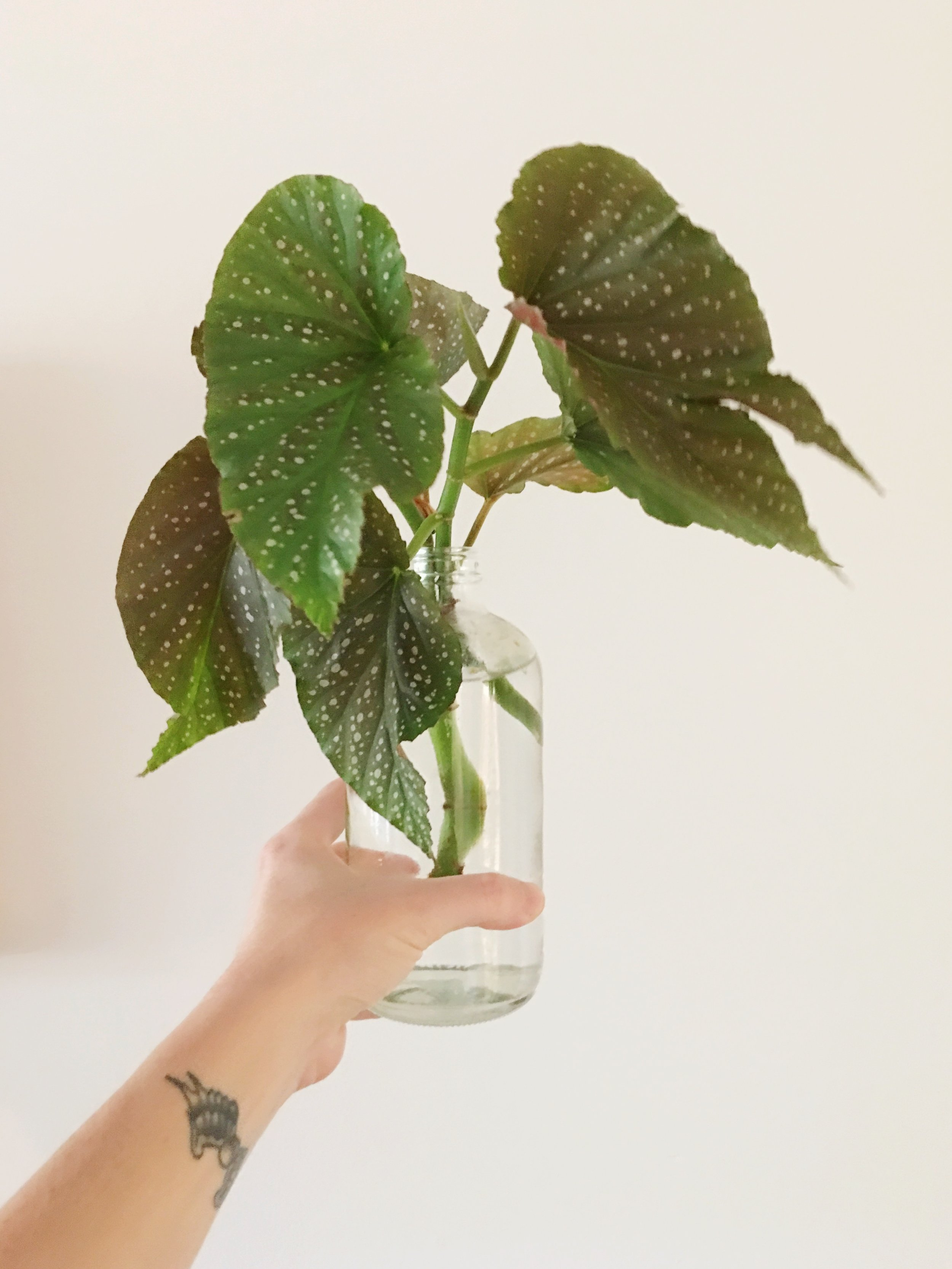 A kind customer brought us Angel Wing Begonia starts! You know we love a good rooter.