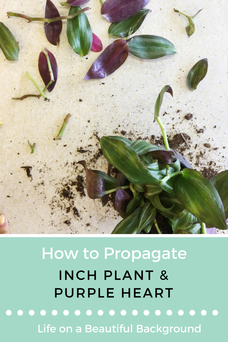 inch plant propagation how to