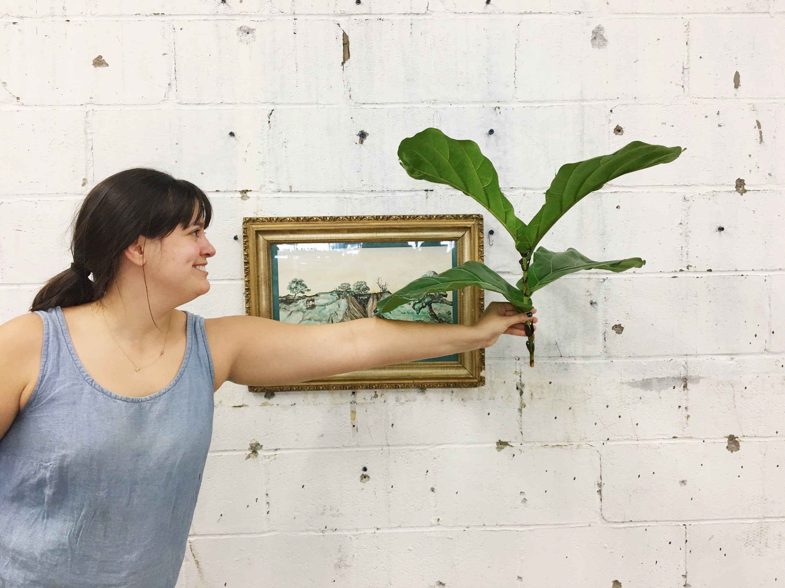 We had a live fiddle leaf fig trimming at the shop on Saturday led by our plant leader, Succulent Sara. Watch out for the full tutorial on the blog!
