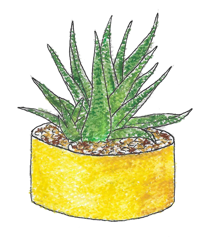 hand illustrated succulent