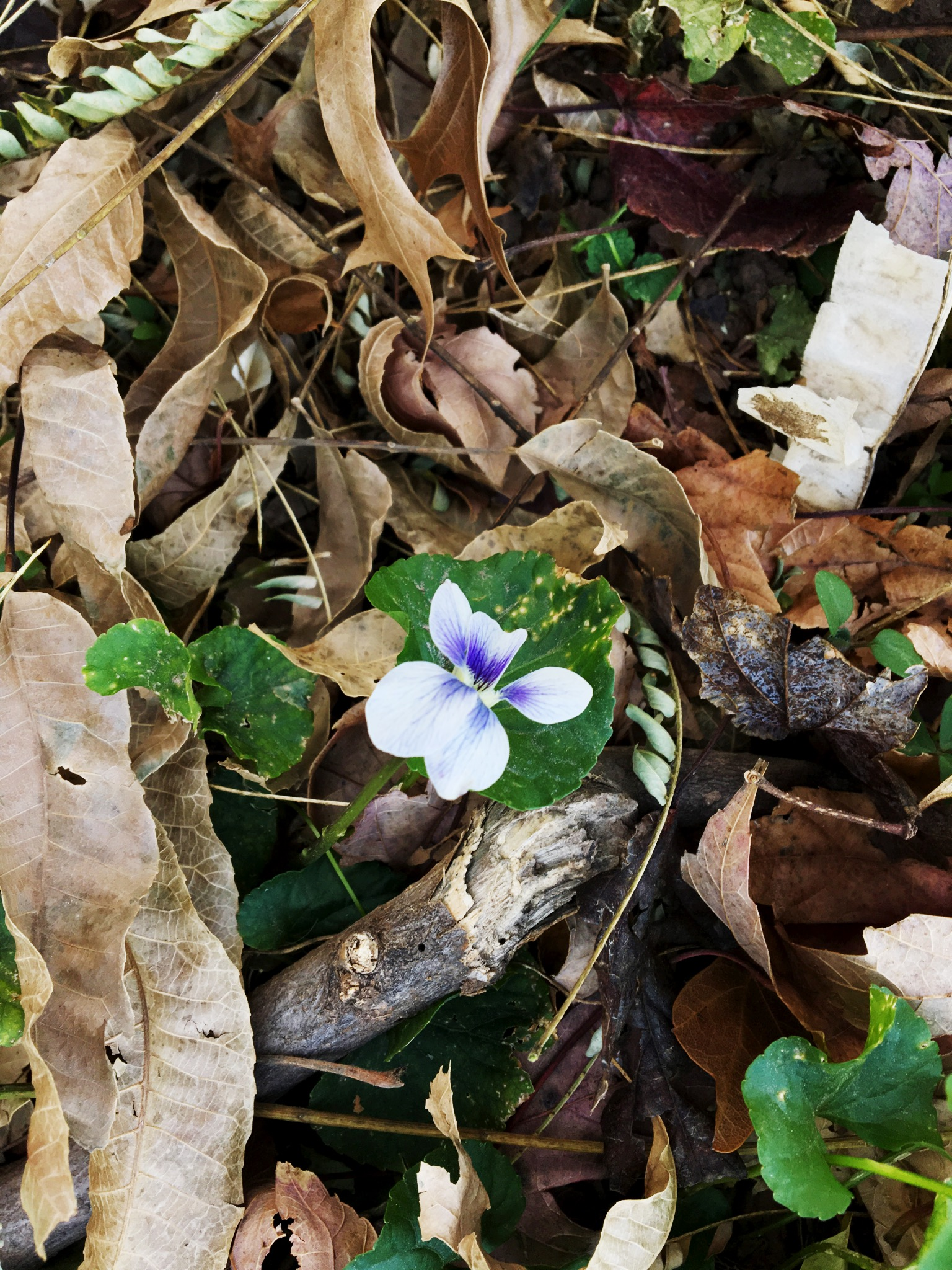 Daly found a wild violet in her yard. Some (all) people think these are weeds, but Daly would like her whole yard to be wild violets.