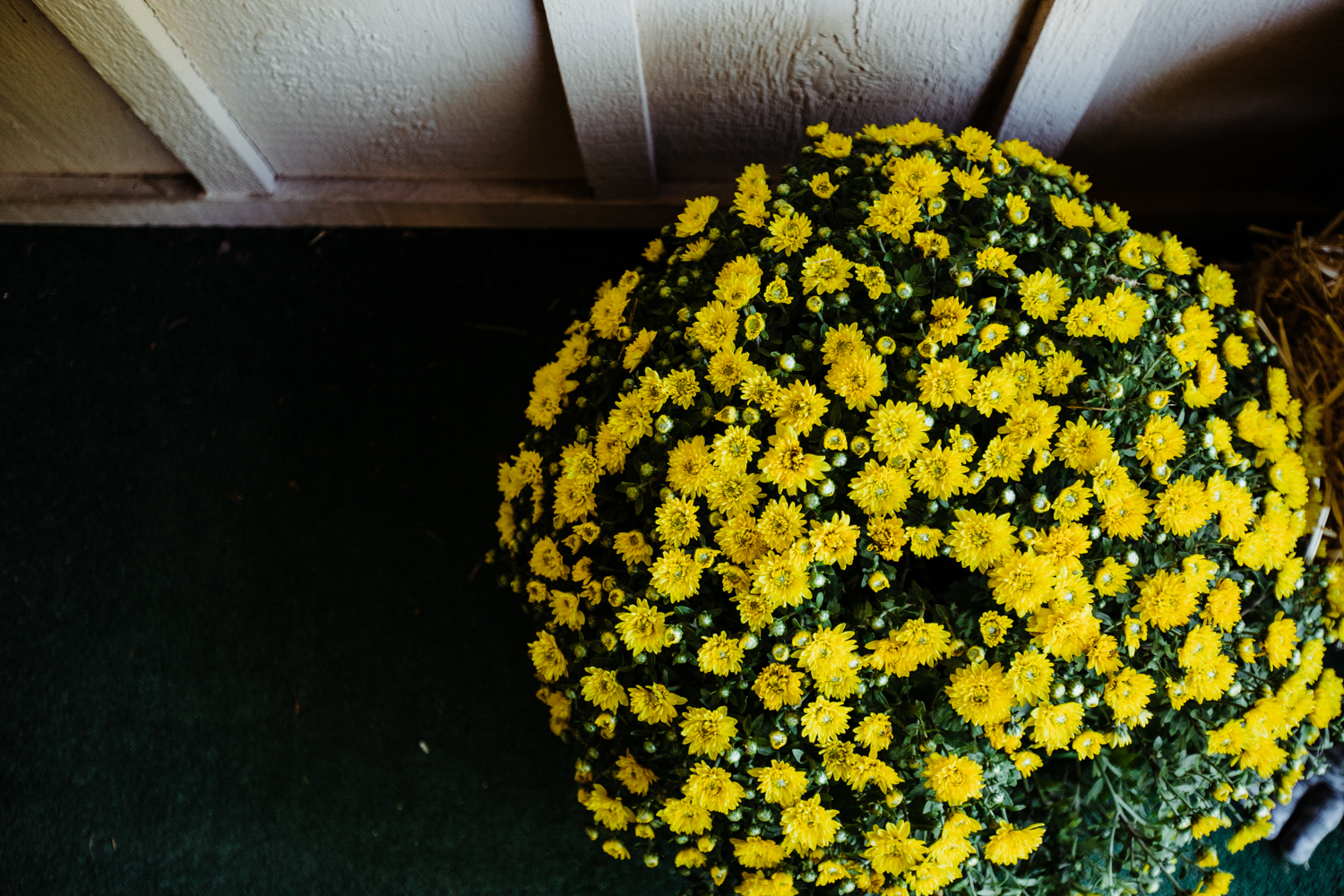 Thanks for the mums,    Tulsa Farmer's Market.    It's not fall without mums!