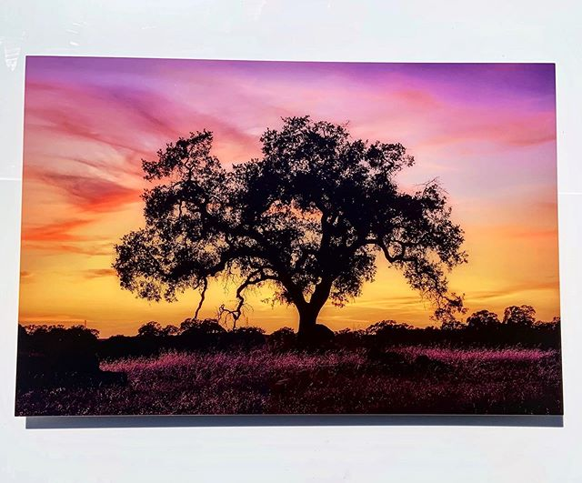 Oak Tree, California Sunset, Metal Print, just a few of my favorite things 🌳 🌅 💕  What are some of your favorite things?  #theseareafewofmyfavoritethings #skyonfire #whatwillgoonyourwall #gometal #metalgirl