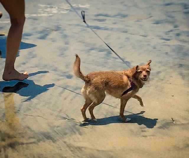 My puppy is the cutest :) #Repost @kiwibillong ・・・ I sexy and I know it dododododo do do #sexydog #beachbody #dog #beachwalk #dogbeach #waterdog #waterfetch #sanddog #sanddoggy #chipoo #swimdog #chaffedthighs #shiverswithtennisball