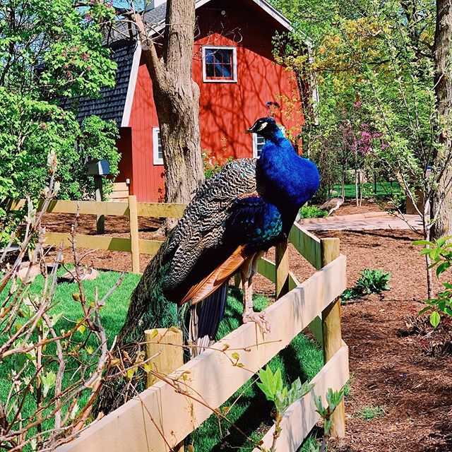 It was a perfect morning for a trip to Fort Wayne Children's Zoo! #fwchildrenszoo #fortwayne #peacock #spring #perfecttiming #zoo