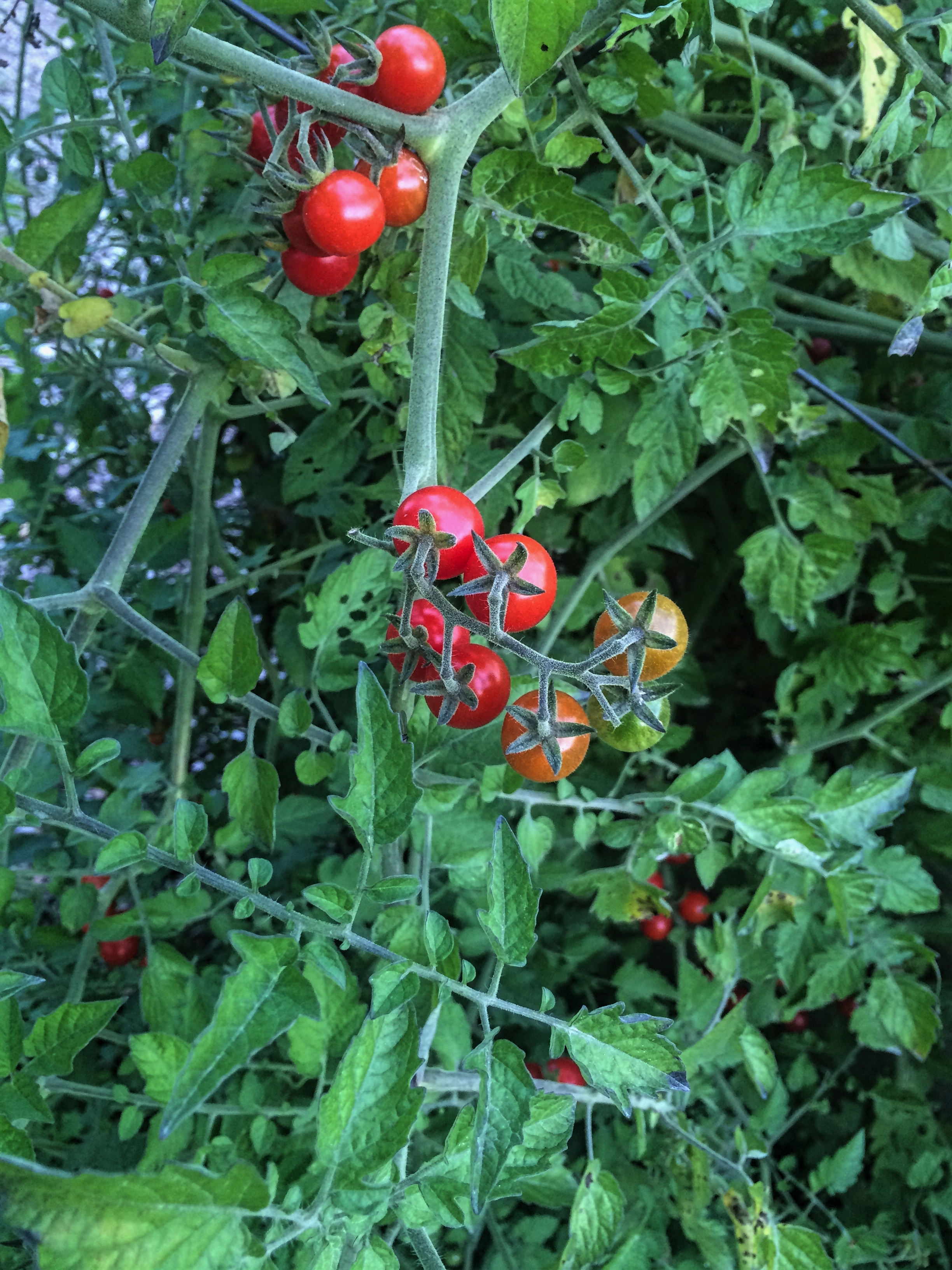 Tomatoes still ripening on the vine in October.