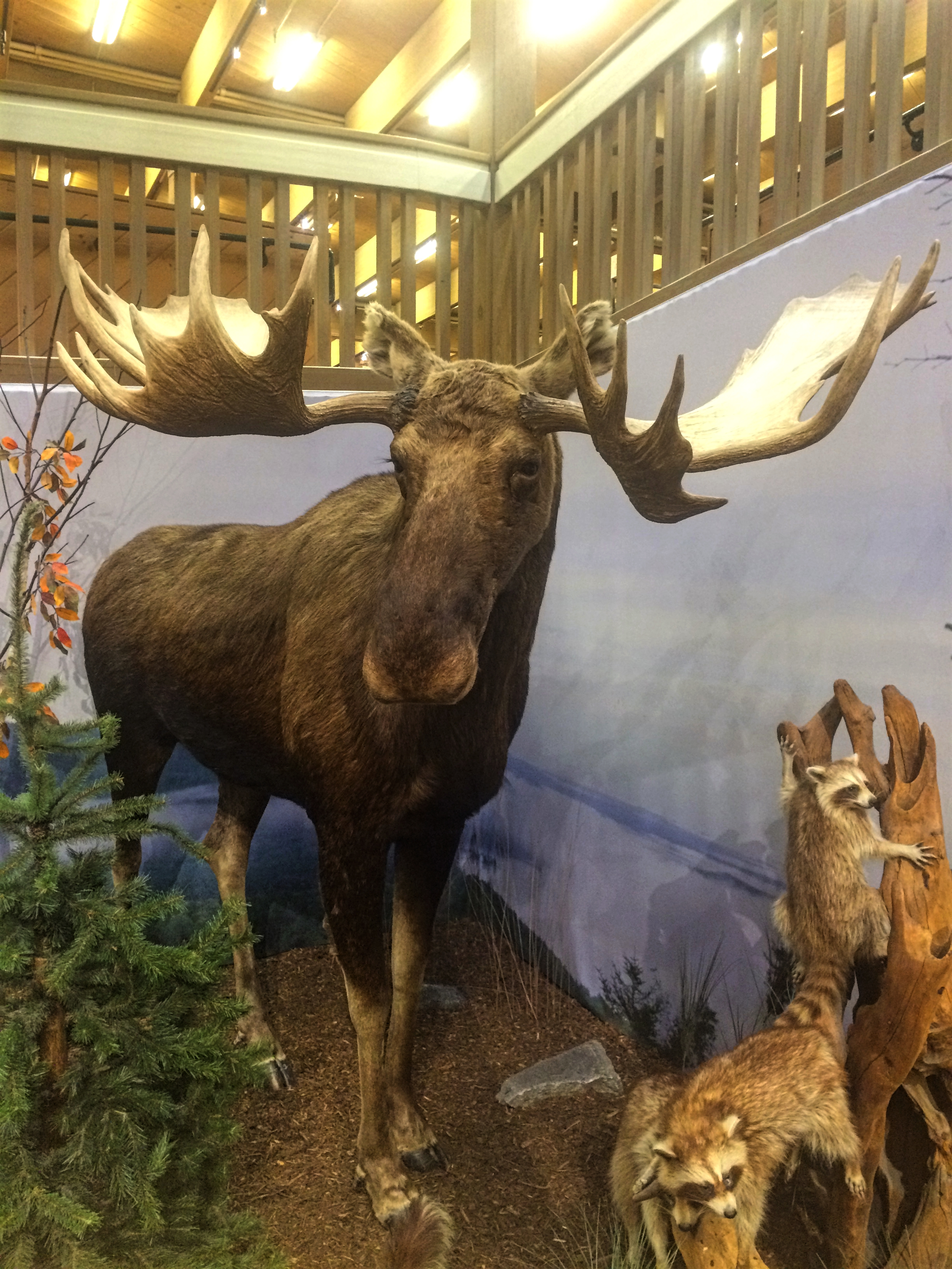 The only moose we've seen to date.