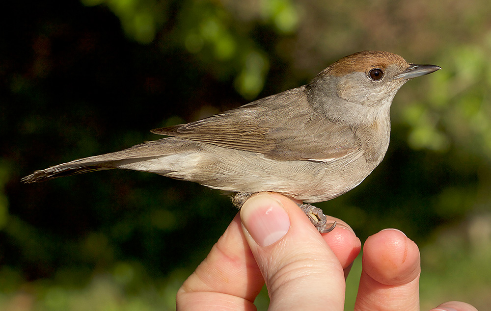 Blackcap, female. What you often don't see in the field – or indeed in field guides – is the subtle rufous spot on the rear of the ear coverts on some female Blackcaps. Up close they're a really attractive bird.