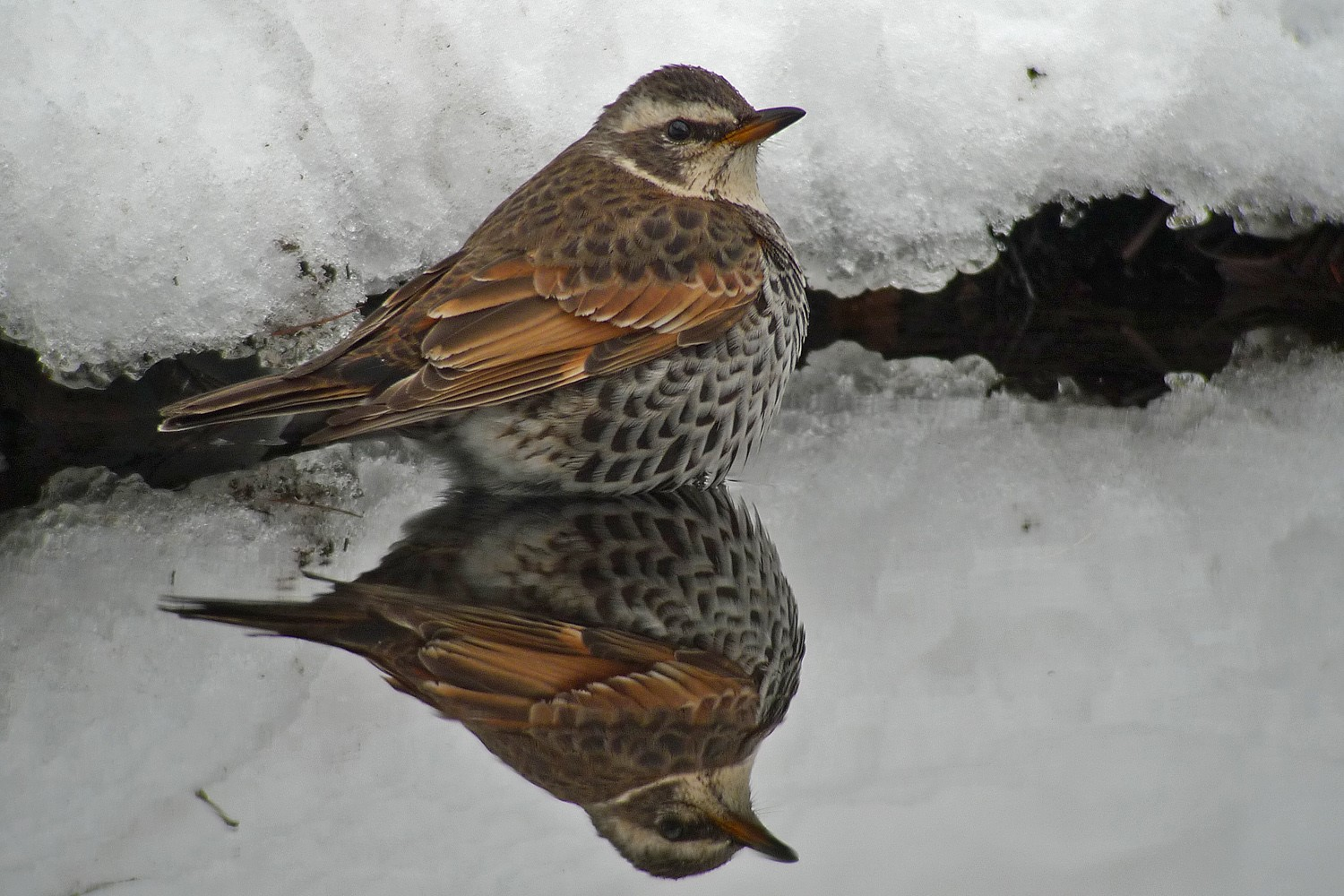 """2cy (""""first-winter"""")male Dusky Thrush, February © Pete Morris. This bird is referred to in the discussion below as """"Pete's bird"""""""