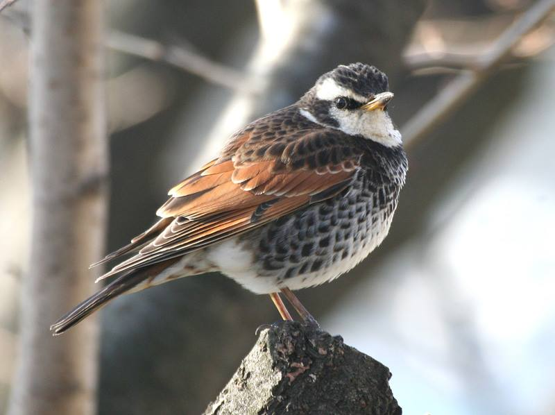 """3+cy (adult) male Dusky Thrush, January © Steve Rooke. This bird is referred to in the discussion below as """"Steve's bird""""."""
