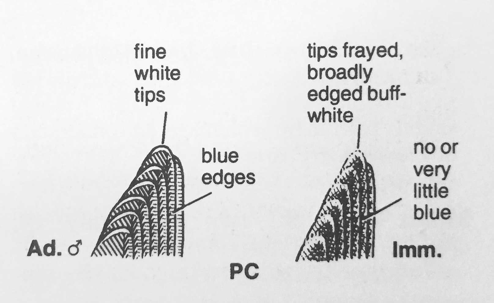 Blue Rock Thrush primary coverts, from Svensson (1992).
