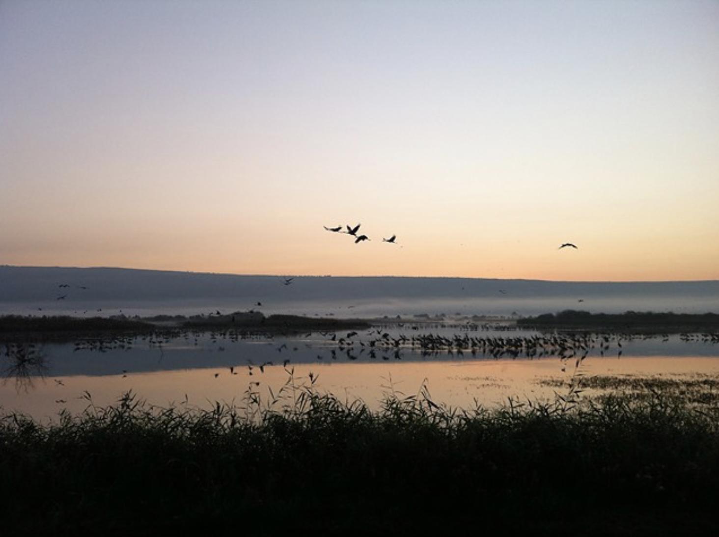 Common Cranes, Hula Valley