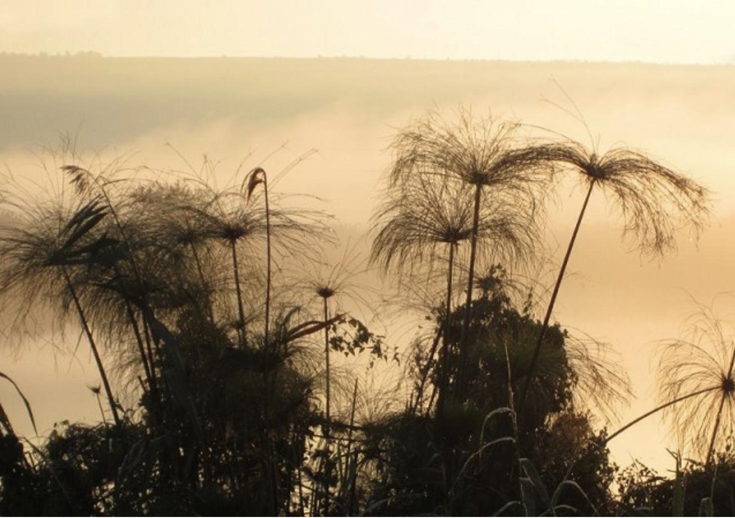 Papyrus at dawn