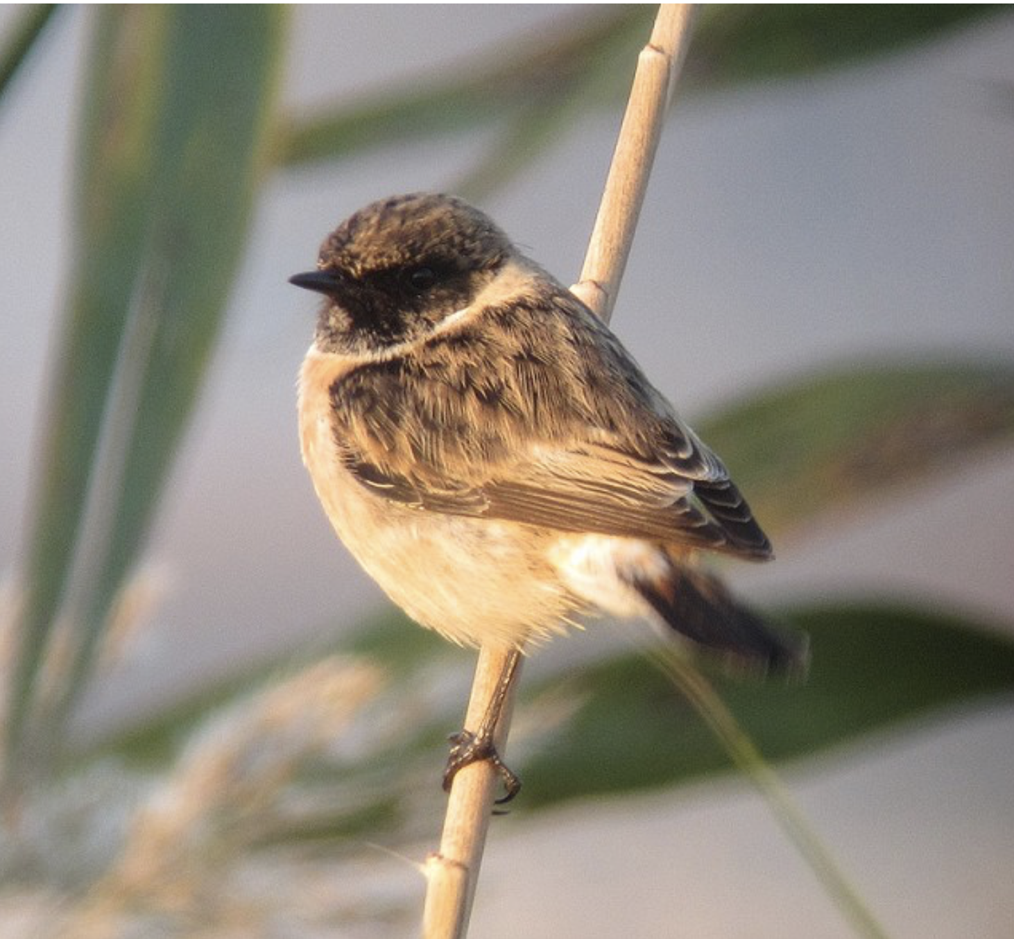Eastern Stonechat, Hula Valley