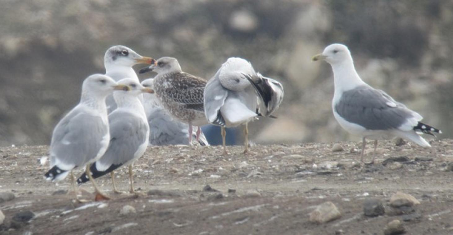 Pallas's, Armenian, Lesser Black-backed & Steppe Gulls
