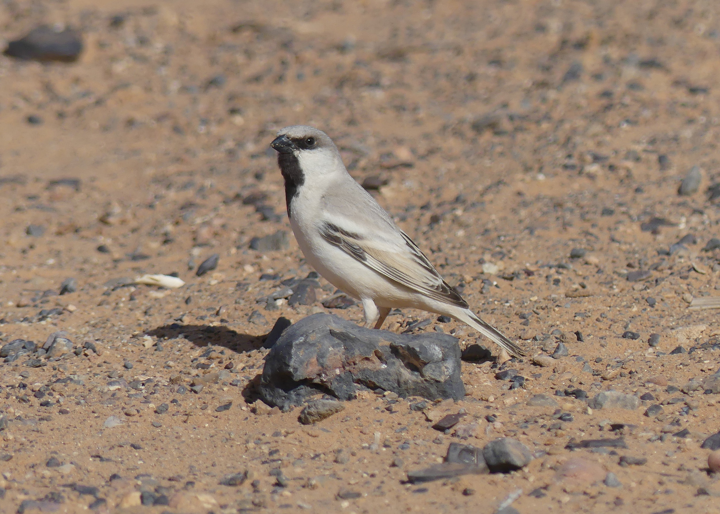 Desert Sparrow – one of the stars of the Sahara.