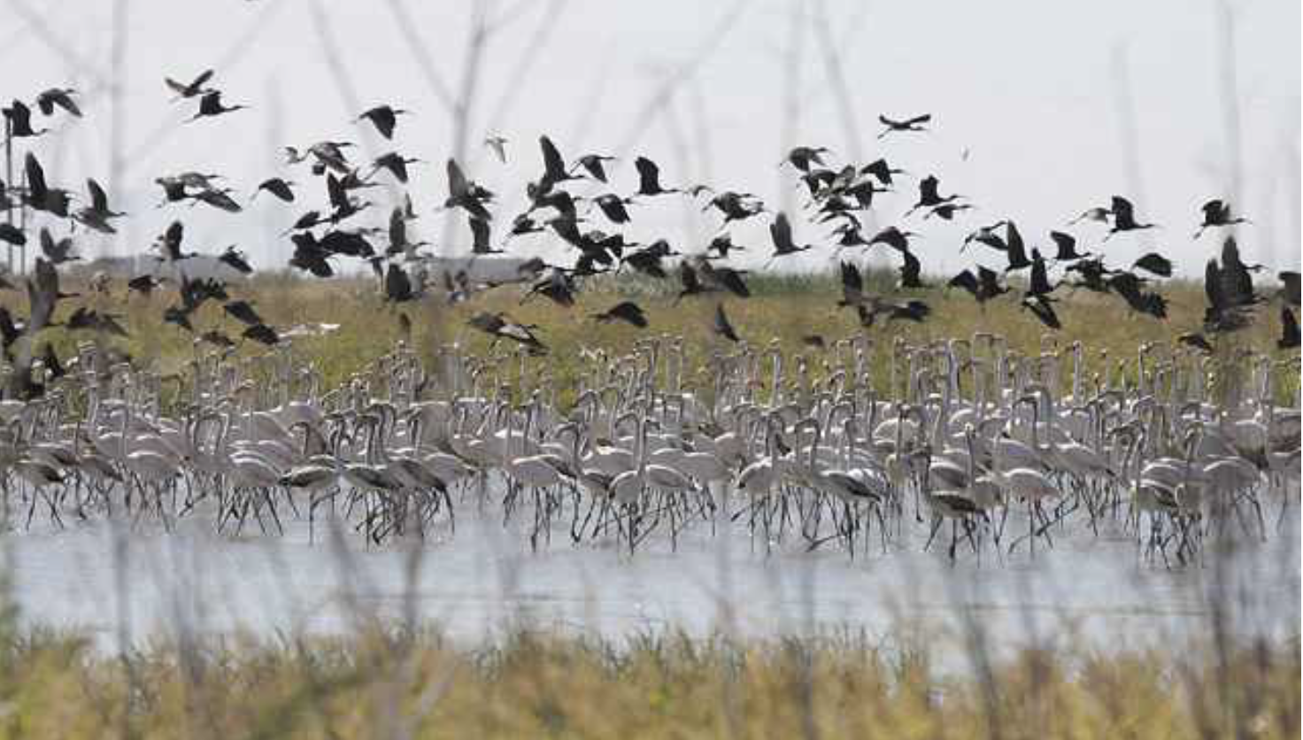Glossy Ibis and Greater Flamingos
