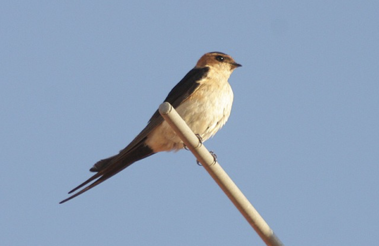 Red-rumped Swallow, Mértola, Portugal
