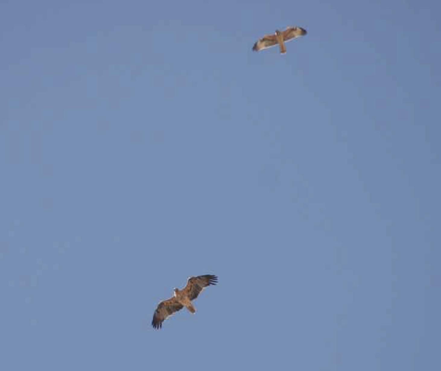 Spanish Imperial Eagle and Bonelli's Eagle