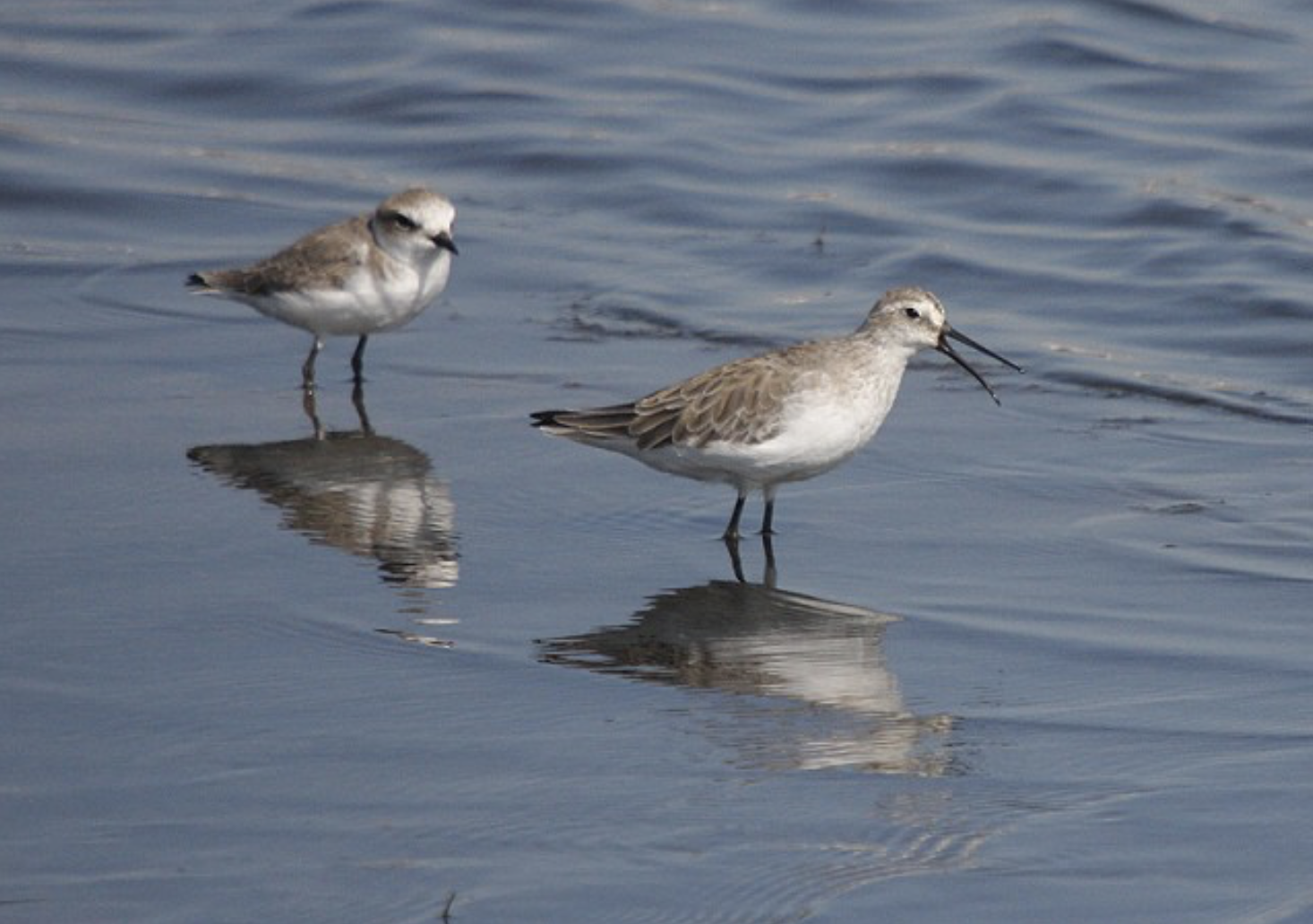 Kentish Plover and Curlew Sandpiper