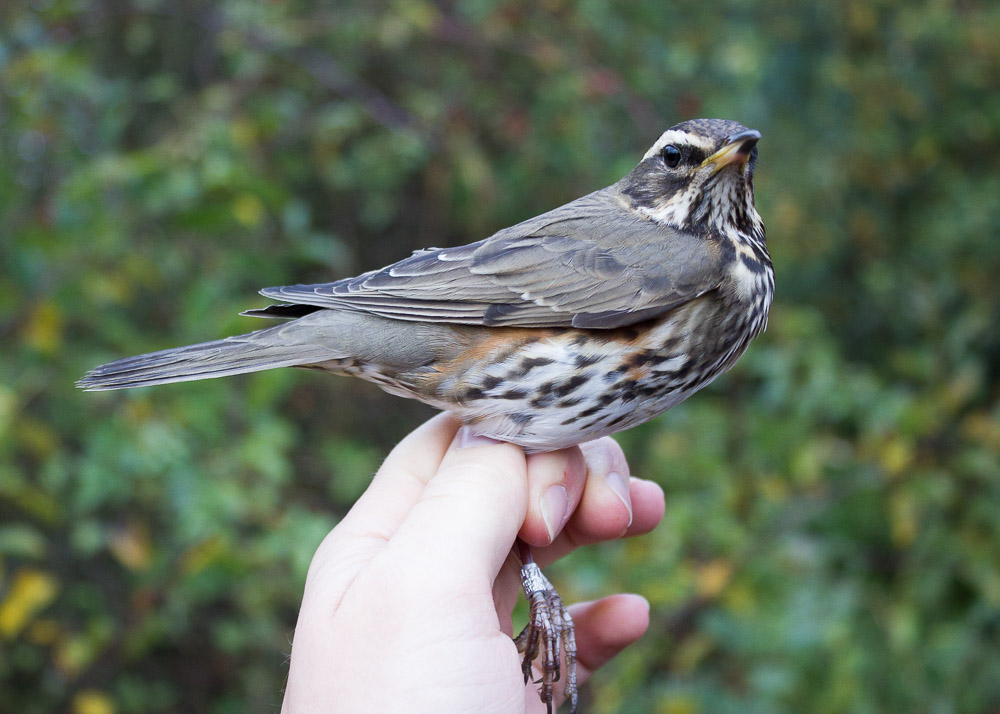 Just a Redwing? This a first-winter Redwing of the Scandinavian-breeding nominate subspecies.