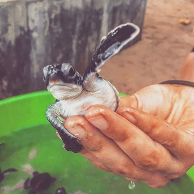 Volunteer this summer with us in Sri Lanka!  Work with Baby turtles #turtles at our Marine & Wildlife Conservation Programme🐢 🌍www.travelteer.co.uk🌏 #Travelteer #volunteer #srilanka #turtle #traveltheworld #instatravel #marinelife #marine #wildlife #travelholic #travelguide #travelguide #sun #travel #turtle #turtles #nature #animals #animallove #animallover #turtlesofinstagram #sea #wildlife #asia #asiatravel #instagood #instadaily #animallovers  Photo cred: @charlotte_hoole