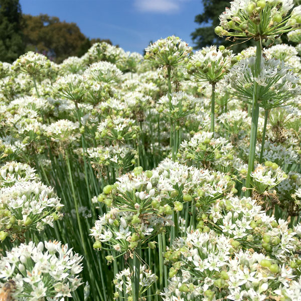 Hundreds of garlic chives in bloom.