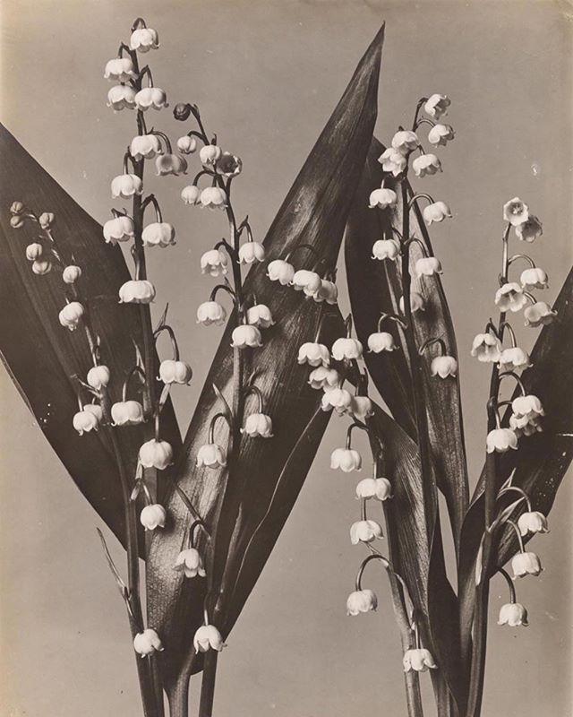 Wilhelm Weimar, Maiglöckchen, Herbarium, 1901 ⠀⠀⠀⠀⠀⠀⠀⠀⠀ ⠀⠀⠀⠀⠀⠀⠀⠀⠀ image #repost @revue_magazine ⠀⠀⠀⠀⠀⠀⠀⠀⠀ #wilhelmweimar