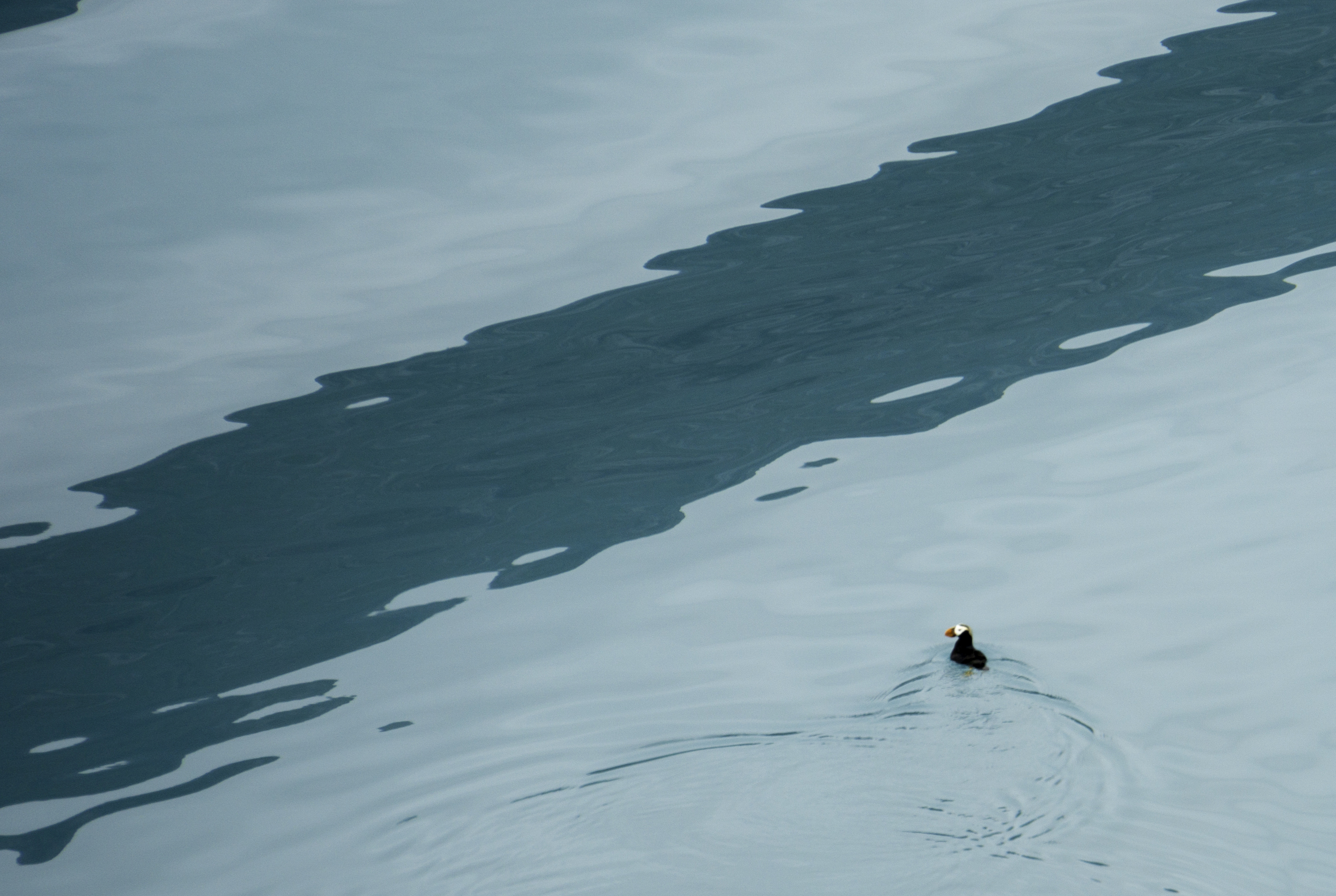 #puffin #glacier #bay #nationalpark #alaska #findyourpark
